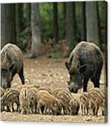 A Group Of Young Wild Boars Nose Canvas Print