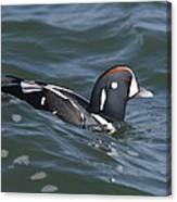 A Harlequin Duck Surfing Canvas Print