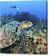 A Hawksbill Turtle Swims Canvas Print