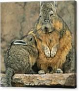 A Herbivorous Viscacha Nurses Her Baby Canvas Print