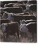 A Herd Of Cattle On The Wyoming Range Canvas Print