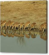 A Herd Of Impala Drinking At A Watering Canvas Print