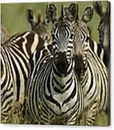 A Herd Of Zebras Standing Alert Canvas Print