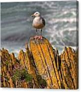 A Herring Gull, Colonsay, Scotland Canvas Print