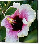 A Hibiscus Of A Different Kind Canvas Print