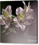 A Hint Of Rose Canvas Print