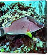 A Hogfish Swimming Above A Coral Reef Canvas Print