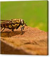 A Horse Fly Posing 1 Canvas Print