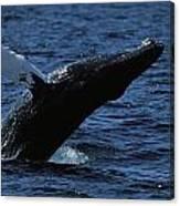 A Humpback Whale Breaching Canvas Print