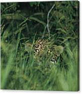 A Jaguar Peeks Out From The Foliage Canvas Print