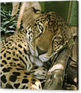 A Jaguar Rests On The Jungle Floor Canvas Print
