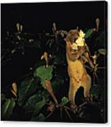 A Kinkajou Drinks Deeply Of Balsa Canvas Print