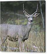A Large Antlered White-tailed Deer Canvas Print