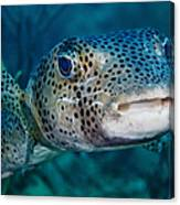 A Large Spotted Pufferfish Canvas Print