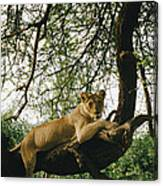 A Lion Panthera Leo Relaxes On A Tree Canvas Print