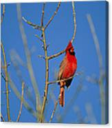 A Male Cardinal Sings In A Suburban Canvas Print