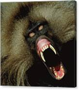 A Male Gelada Baboon Bares His Fangs Canvas Print