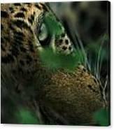 A Male Leopard Dozes Canvas Print