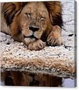 A Male Lion Panthera Leo Sleeps Canvas Print
