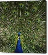 A Male Peacock Displays His Feathers Canvas Print