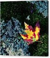 A Maple Leaf Lies On A Bed Of Moss Canvas Print