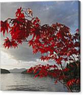 A Maple Tree In Fall Foliage Frames Canvas Print