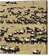 A Migrating Herd Of Wildebeests Canvas Print