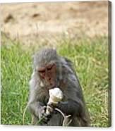A Monkey Enjoying An Ice Cream Cone Inside Delhi Zoo Canvas Print