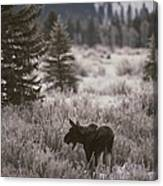 A Moose In A Frost-covered Field, Grand Canvas Print