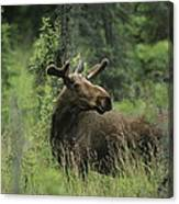 A Moose Stands In Tall Grass Canvas Print