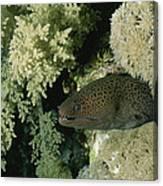 A Moray Eel Pokes Its Head Canvas Print