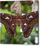 A Moth Clings To Its Cocoon Immediately Canvas Print