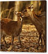 A Mother And Fawn Sika Deer Canvas Print
