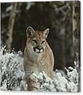 A Mountain Lion, Felis Concolor Canvas Print