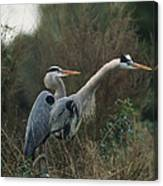 A Pair Of Great Blue Herons Stand Canvas Print