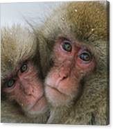 A Pair Of Japanese Macaques, Or Snow Canvas Print