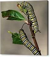 A Pair Of Monarch Caterpillars Canvas Print