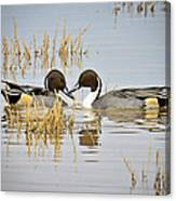 A Pair Of Northern Pintail Ducks  Canvas Print