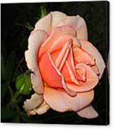 A Peach Of A Rose Canvas Print