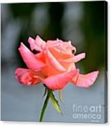 A Peachy Pink Delight Canvas Print