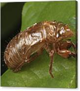 A Periodical Cicada Exoskeleton Canvas Print