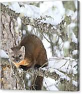 A Pine Marten Looks For Food Canvas Print