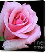 A Pink Rose Canvas Print