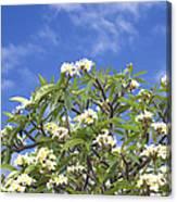 A Plumeria Caracasana Tree In Full Canvas Print