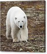 A Polar Bear Ursus Maritimus Walking Canvas Print