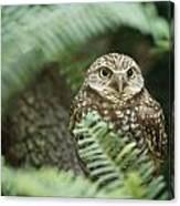 A Portrait Of A Captive Burrowing Owl Canvas Print