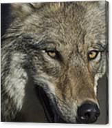 A Portrait Of A Gray Wolf Canvas Print