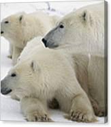 A Portrait Of A Polar Bear Mother Canvas Print