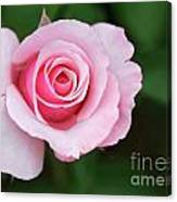 A Pretty Pink Rose Canvas Print