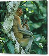A Proboscis Monkey Canvas Print